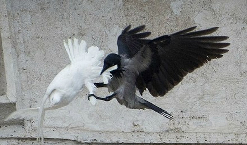 raven-attacking-dove